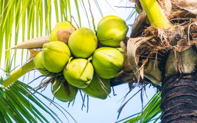 Green Coconut fruit on coconut tree - Sunflare filter effect